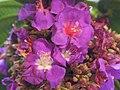Starr 020815-0059 Tibouchina multiflora.jpg