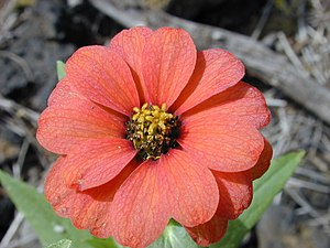 Zinnia peruviana - Close-up of flower head.