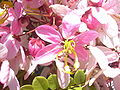 Starr 030702-0028 Cassia javanica.jpg