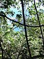 Starr 040209-0082 Hibiscus tiliaceus.jpg