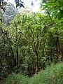 Starr 041113-0752 Pleomele auwahiensis.jpg