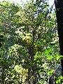 Starr 041219-1595 Cinchona pubescens.jpg