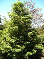 Starr 050216-4073 Pittosporum undulatum.jpg