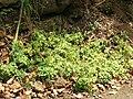 Starr 050517-1579 Peperomia blanda.jpg