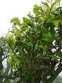 Starr 060225-6125 Pisonia brunoniana.jpg