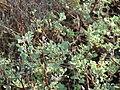 Starr 061017-1152 Chenopodium oahuense.jpg