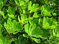 Starr 061108-9704 Pittosporum sp..jpg