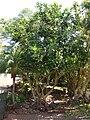 Starr 070403-6424 Fagraea berteroana.jpg
