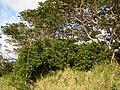 Starr 070404-6710 Falcataria moluccana.jpg