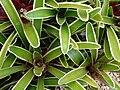 Starr 070730-7786 Unknown bromeliaceae.jpg