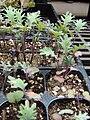 Starr 070906-8897 Brassica oleracea.jpg