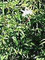 Starr 080219-2947 Jasminum polyanthum.jpg