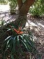 Starr 080917-9955 Freycinetia arborea.jpg