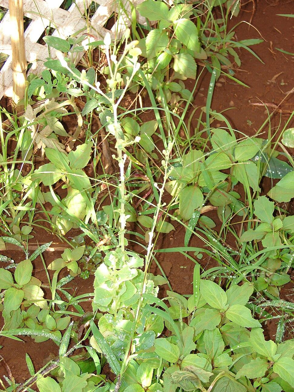 Starr 081031-0356 Lactuca sativa