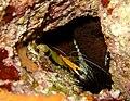 Stenopus spinosus.jpg