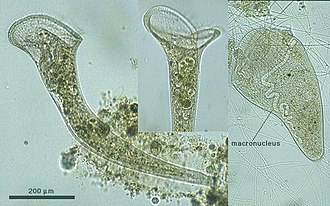Ciliate - Stentor roeselii