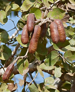 Stinking Tree (Hymenaea courbaril) fruits (31007206704)