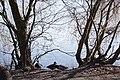 Stockenten am Weissen See.jpg