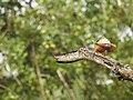 Stork billed kingfisher-kannur-kattampally - 16.jpg