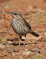 Striped pipit, Anthus lineiventris, at Walter Sisulu National Botanical Garden, Gauteng, South Africa (28856183513).jpg