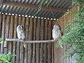 Strix uralensis -Banham Zoo, Norfolk, England-8a (1).jpg