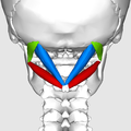 Suboccipital triangle06.png
