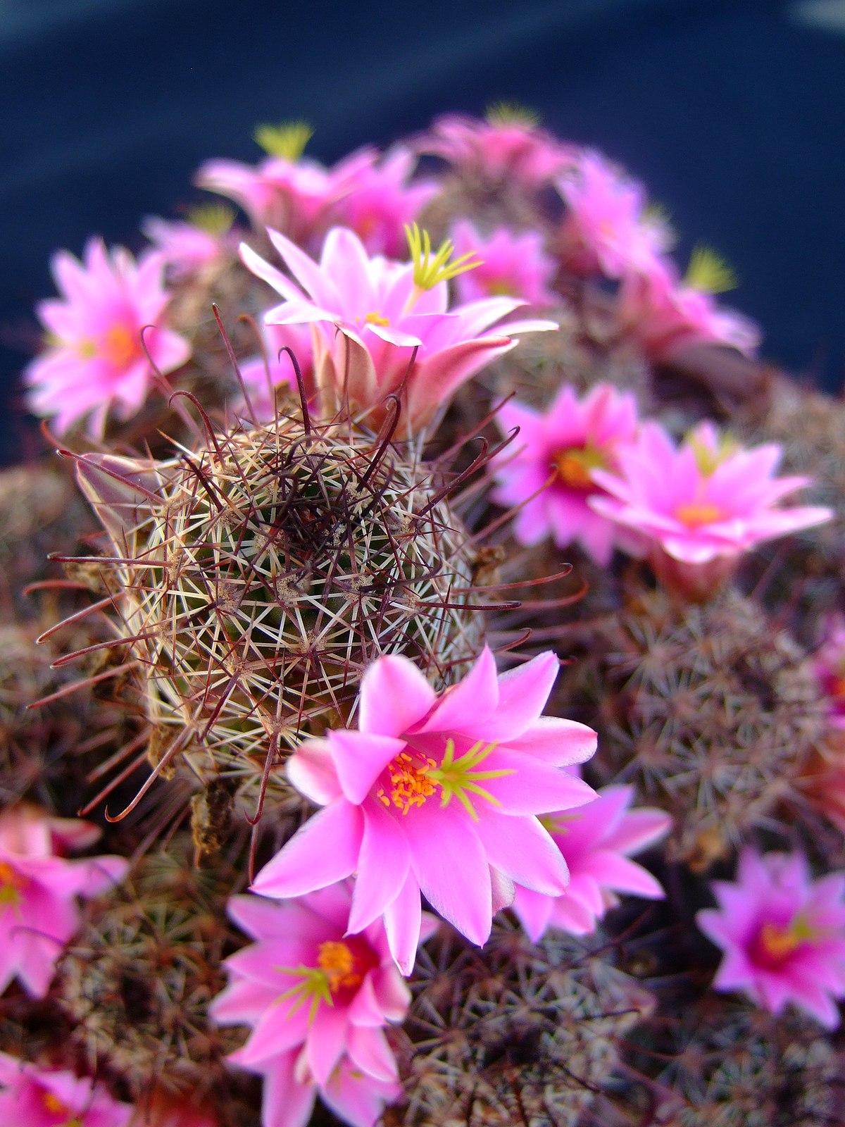 Mammillaria wikipedia la enciclopedia libre for Cactus variedades