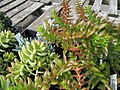 Succulent (6167202749).jpg