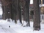 Suchdol - stromořadí lip srdčitých v Gagarinově ulici na Budovci (7).jpg