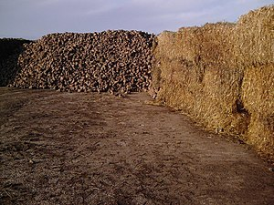 English: Sugar beet Sugar beet at Blue Barn Farm