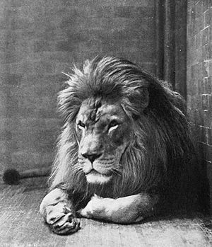 Barbary lion - Sultan the Barbary lion, New York Zoological Gardens, 1897