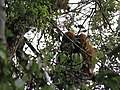 Sumatran orangutan in the wild (8188465204).jpg
