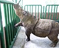 Sumatran rhinoceros during labor.jpg