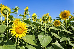Sunflowers in Zama.jpg