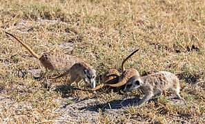Suricatos (Suricata suricatta), parque nacional Makgadikgadi Pans, Botsuana, 2018-07-30, DD 35.jpg