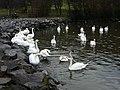 Swans at St. Margaret's Loch - geograph.org.uk - 1606820.jpg