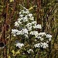 Symphyotrichum ericoides Green Lake County, WI flowerhead.jpg