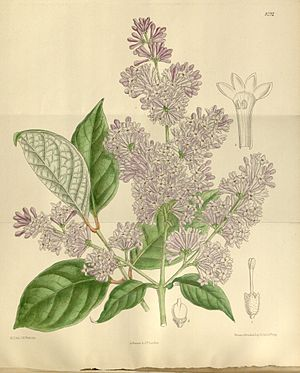 Syringa villosa, Illustration