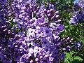 Syringa vulgaris Bulgaria 2.jpg