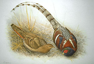 Mrs. Hume's pheasant - Image: Syrmaticus humiae