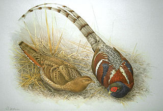 Mrs. Humes pheasant species of bird