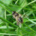 Syrphidae. - Flickr - gailhampshire (1).jpg