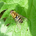 Syrphus sp.. Syrphidae - Flickr - gailhampshire.jpg