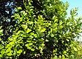 Syzygium caryophyllatum 17.JPG