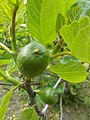 Taban Park Botanical nature trail. Common fig (Ficus carica) - Budapest.JPG