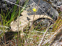 Tan colored lizard in grass near a rock. A 5-petaled yellow flower is directly above it.