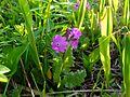 Tajimagahara Wild Primrose 06.jpg