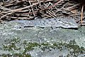 Tarentola mauritanica 01 by-dpc.jpg