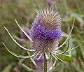 Teasel Flower (3746692994).jpg