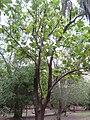 Tectona grandis, Cooktown 2010.jpg